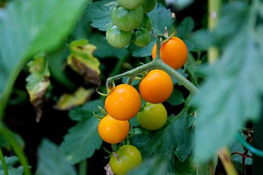 Golden Globe Cherry Tomatoes